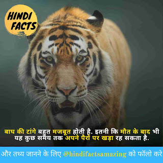 facts about tiger