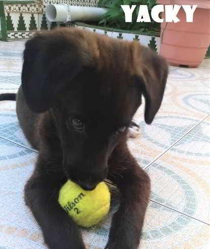 mestizo labrador perro aguas