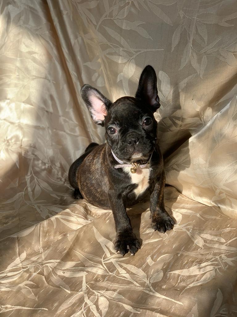 Bulldog Francés Atigrado Oscuro