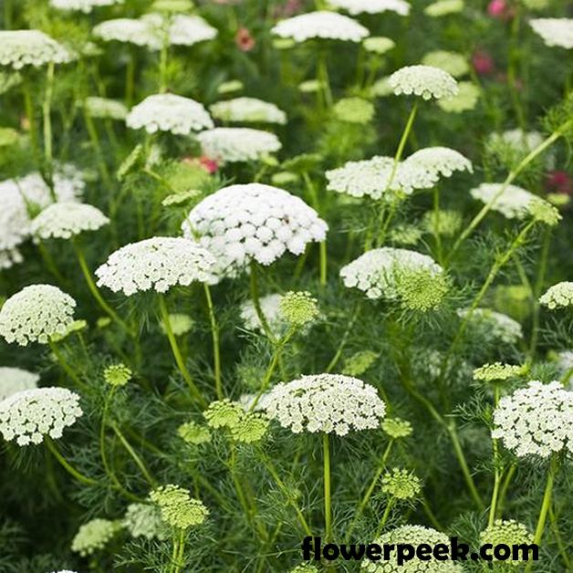Tips on how to grow Queen Anne's lace plant