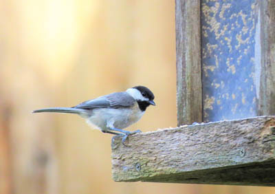 Photo of Carolina Chickadee at feeder. GeorgeB2 from Pixabay