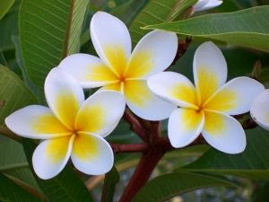 Kesihatan / Health: Khasiat Bunga kemboja -Nutrients