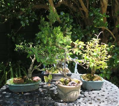 Four bonsais