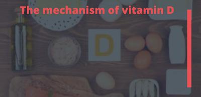 Vitamins,nutrition,diet,healthy life,vitamin D,health,The mechanism of vitamin D