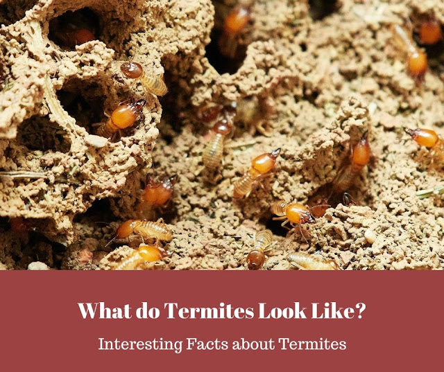 What do Termites look like? Flying Termites