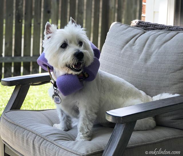 Westie in pool noodle e-collar