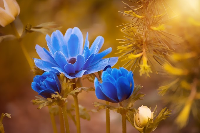 Blue Roses Flower HD Wallpapers Download
