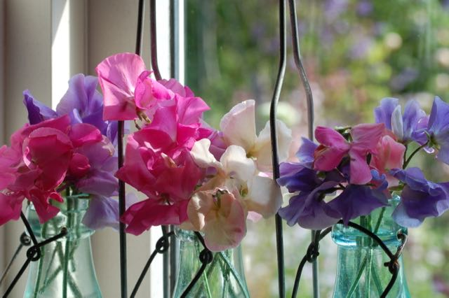 scented Lathyrus in vase