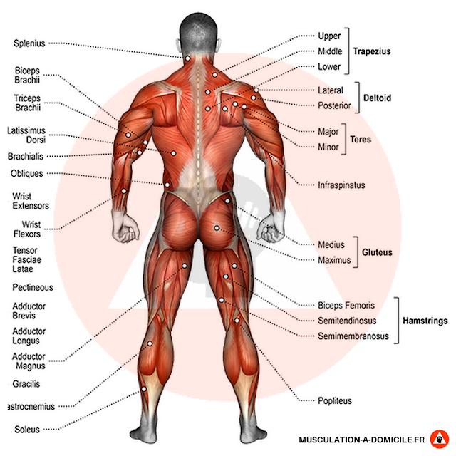 musculation à domicile anatomie nom des muscles vue de dos