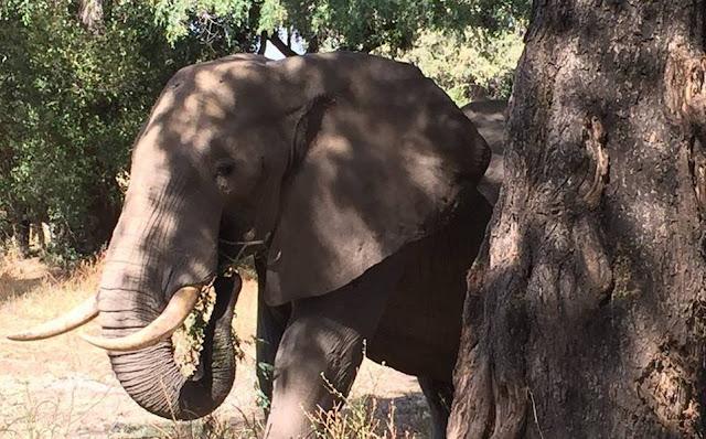 Elefante sobrevive a balazo en la cabeza y busca ayuda de veterinarios