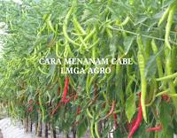 jual benih terbaru, cabe keriting, benih f1 rampalis, toko pertanian, toko online, lmga agro