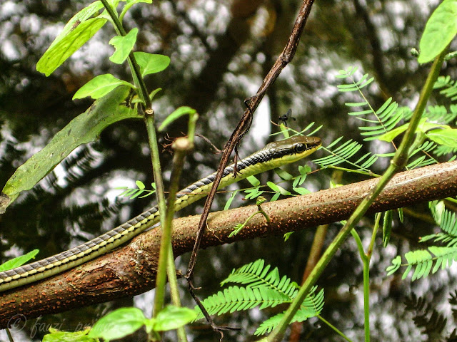 Ular pohon