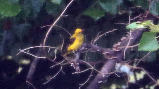 What a beautiful bird the Golden Oriole is