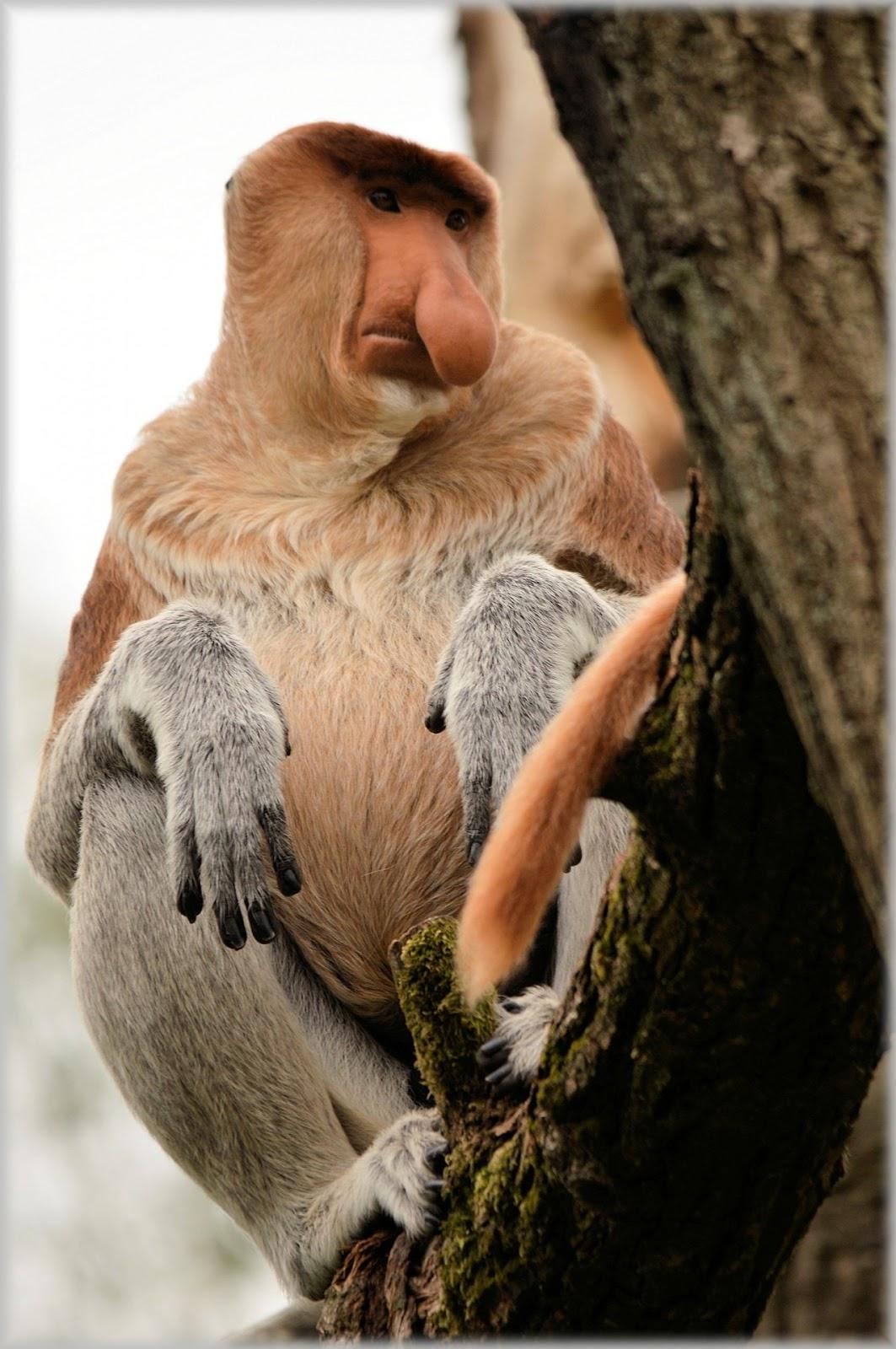 Image of a proboscis monkey.