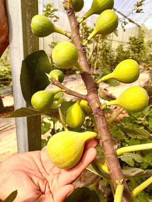 bibit buah tin fresh cangkok berbagai jenis Sulawesi Utara