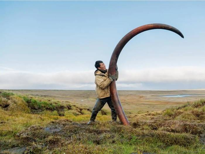 Tusk of a woolly mammoth most likely killed by ancient hunters, Siberia.