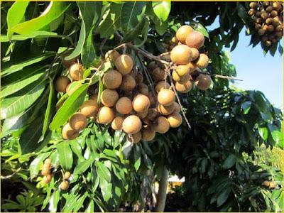 Jasa Tukang taman Surabaya Tanaman buah