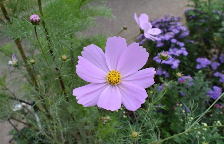薄紫色のコスモス