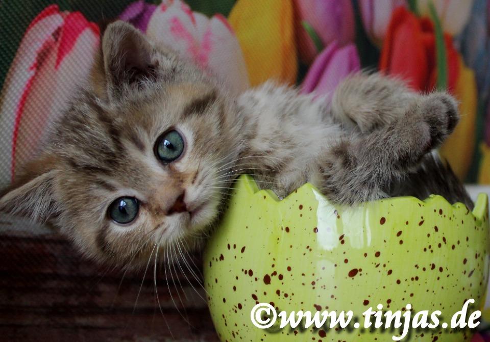 Baby Britisch Kurzhaar chocolate golden tabby