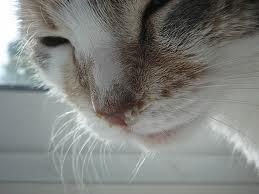 Kucing selsema
