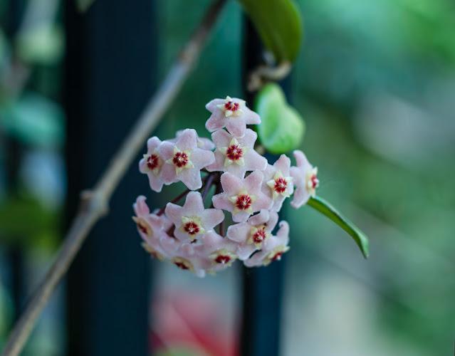 Flor de Clepia recién nacida.