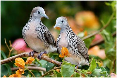 Download Suara Masteran Burung Perkutut