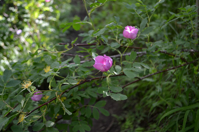 roses across the trail