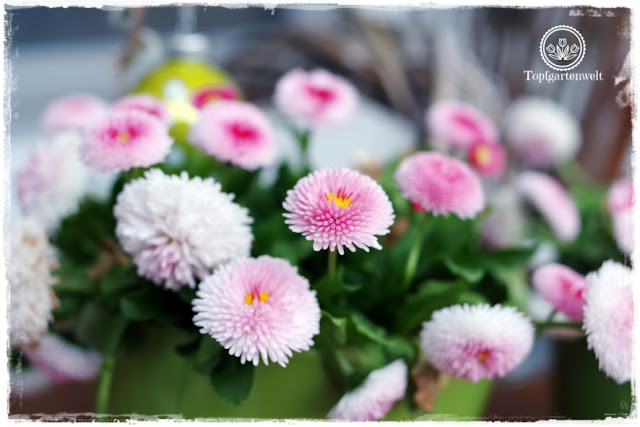 Gartenblog Topfgartenwelt Ostern: Bellis