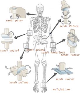 dapatkan pemahaman tentang macam sendi yang terdapat pada bagian tubuh manusia