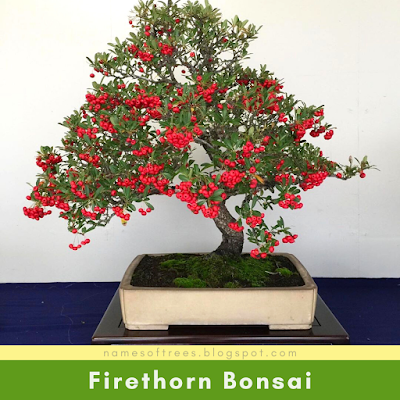 Firethorn Bonsai