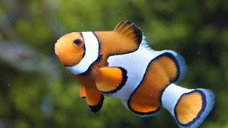 https://okdiario.com/curiosidades/que-son-peces-payaso-4490547