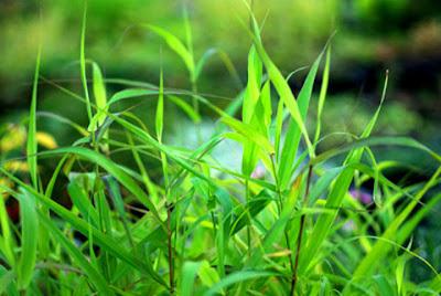 растение пальмароза