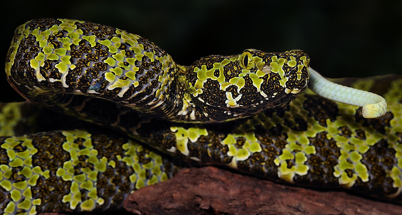 Life Is Short But Snakes Are Long Spider Tailed Adders