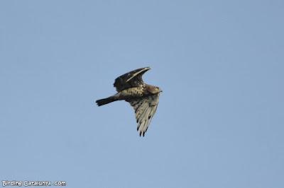 Àguila marcenca a Riudecanyes