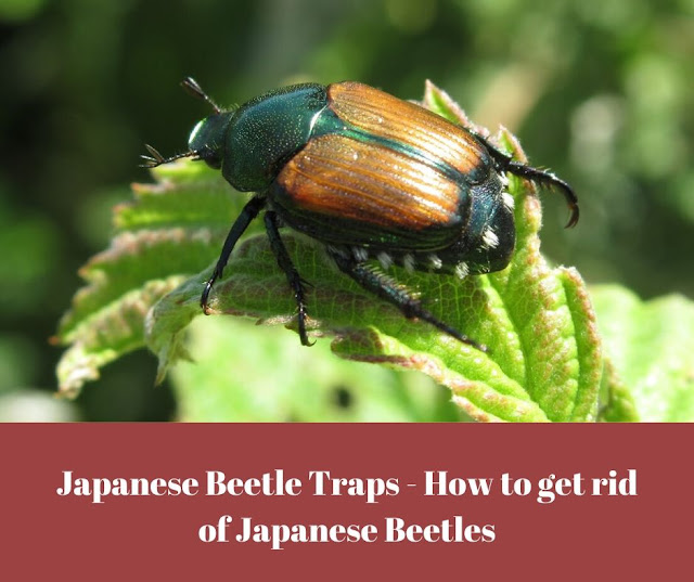 Japanese beetle sitting on a leaf