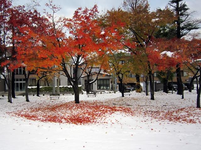 モミジの紅葉と雪