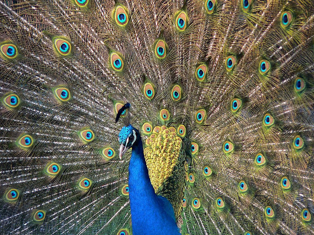 Real was said to have been named after the pavo real or the Indian peafowl, but this was curious because the bird is endemic to the Indian Subcontinent.  Image source:  BS Thurner Hof [GFDL (http://www.gnu.org/copyleft/fdl.html) or CC-BY-SA-3.0 (http://creativecommons.org/licenses/by-sa/3.0/)], via Wikimedia Commons