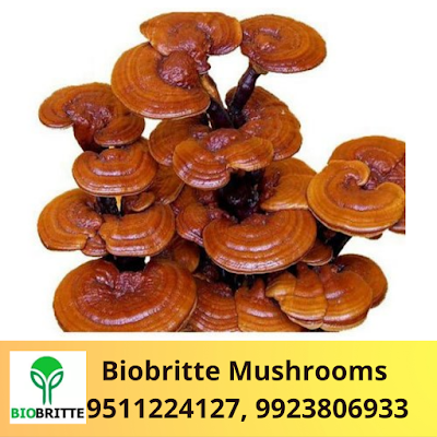 Ganoderma Mushroom Spawn Supplier In India