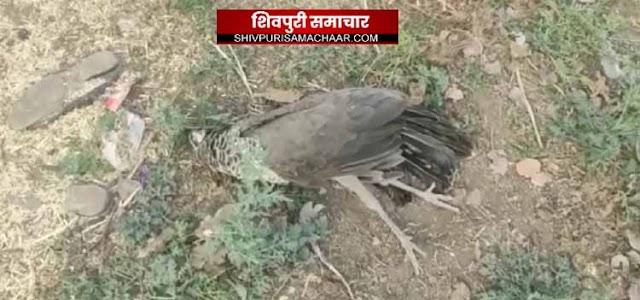 विद्युत विभाग की लापरवाही से लगातार राष्ट्रीय पक्षी मोरों की हो रही है मौत / Bairad News