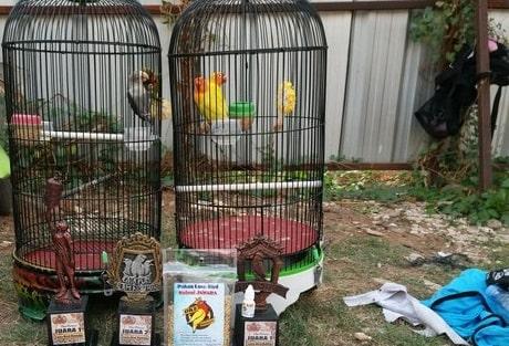 Cara Merawat Burung Lovebird Biar Gacor