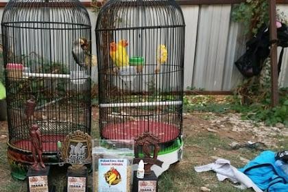 Cara Merawat Burung Lovebird Biar Gacor dan Juara Terlengkap