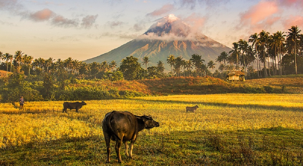 Carabaos at the foot of Mayon Volcano in Bicol