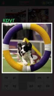 на площадке собака прыгает через цветной круг