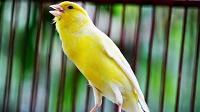 5 Fakta menarik tentang burung kenari.