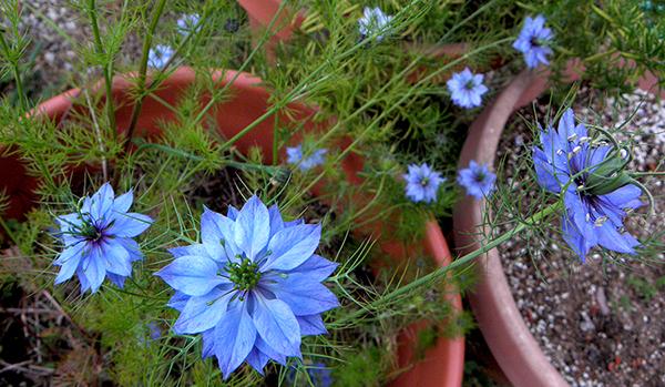 blue nigella in pot