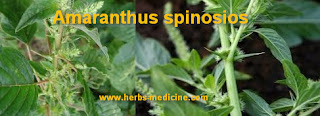 Hemorrhoids use Amaranthus Spinosios