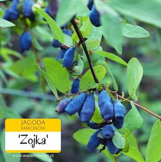 Owoce jagody kamczackiej odmiany Zojka