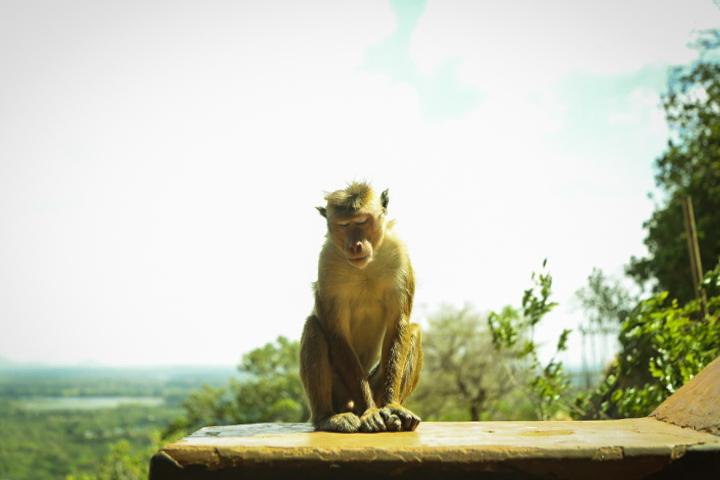 Sleeping monkey pictures