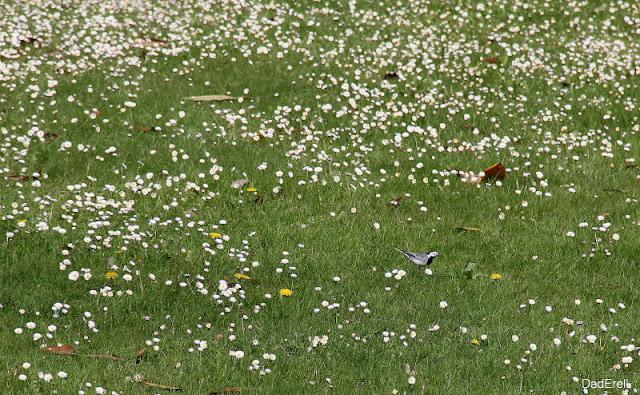 Une bergeronnette dans un champ de pâquerettes