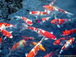 Gambar Ikan Koi